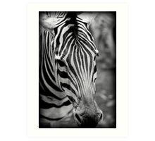 striking zebra Art Print