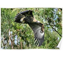 Australian Wedge-Tailed Eagle Poster