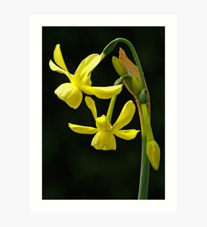 Daffodil (narcissus hawera) Art Print