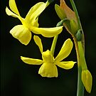 Daffodil (narcissus hawera) by Tom Carswell