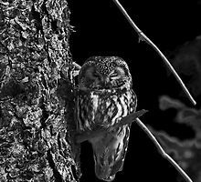 Little Owl in IR by peaceofthenorth