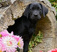 Lab puppy playing hide and seek by Katho Menden