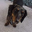 Frodo Long Haired Dachshund by Zehda