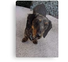 Frodo Long Haired Dachshund Metal Print
