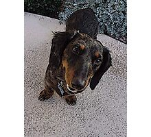 Frodo Long Haired Dachshund Photographic Print