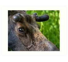 Moose Bull In Velvet Art Print