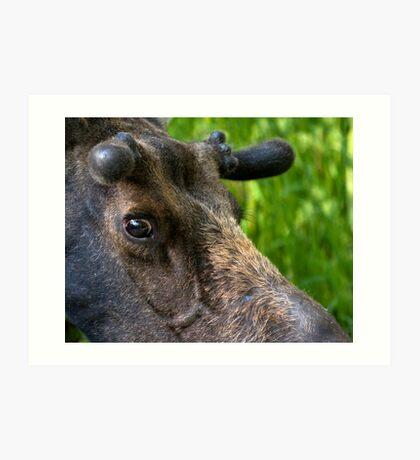 Moose Bull In Velvet Art Print