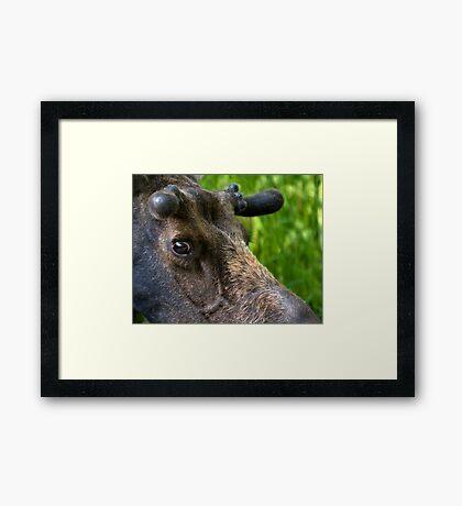 Moose Bull In Velvet Framed Print
