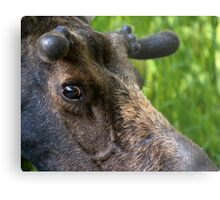 Moose Bull In Velvet Metal Print