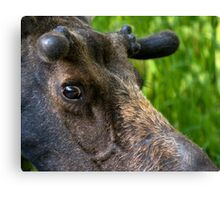 Moose Bull In Velvet Canvas Print