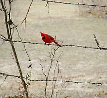 Cardinal by Catherine  Howell
