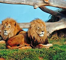 Lions. by nJohnjewell