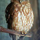 Barking Owl by Michael Fotheringham Portraits