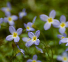 Tiny Tennessee Wildflowers by Tony  Bazidlo