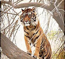 Tiger by keladams