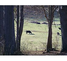 Cows in a pasture.. Photographic Print
