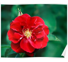 Deep Red Rose Flower Poster