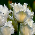 SIMPLY WHITE  PARROT TULIPS by Johan  Nijenhuis