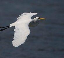 Great White Beauty in Flight by Bryan Shane