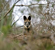 Black Faced Wallaby by Yanni