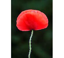 Poppy Nº 2 (papaver rhoeas) Photographic Print