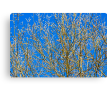 Willow buds - Easter Time Canvas Print