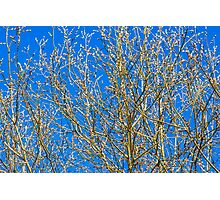 Willow buds - Easter Time Photographic Print