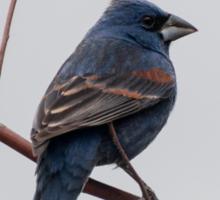 Blue Grosbeak  Sticker