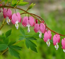 Pretty Maids All in A Row by WildThingPhotos
