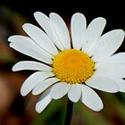 Daisy ... Daisy ... by WildThingPhotos