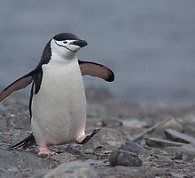 Chinstrap Penguin by David Burren