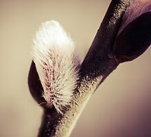 Willow buds - Thrust Of New Life by luckypixel