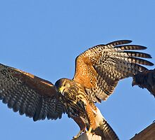 Juvenile Harris Hawk by Marvin Collins