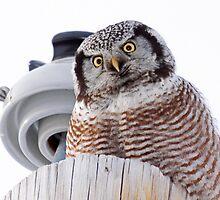 Northern Hawk Owl 3 by lloydsjourney