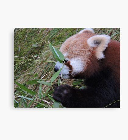 Little Bamboo, Little Panda Canvas Print