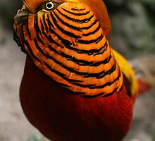 Chinese Golden Pheasant by Damie-anne