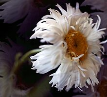 Daisy May by cherylc1