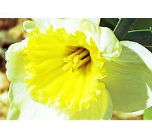 Daffodilly  Photographic Print