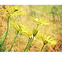 Daylight Daisies Photographic Print