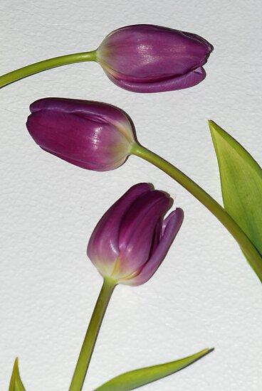 Purple Tulips by Barbara Manis