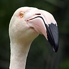 Pink Flamingo by FASImages