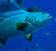 Swimming Grouper by Dennis Stewart