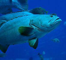 Swimming Grouper by Dennis Stewart