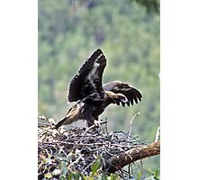 Wedge Tailed Eagle Photographic Print