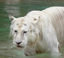 White Bengal Tiger 2 by Leanne Allen