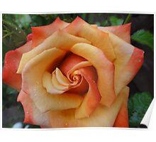 Beautiful orange rose flower Poster