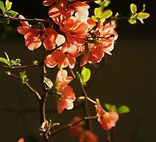 Quince Blossoms by autumnwind