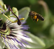 Bee and Passion Fruit by David Odd