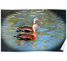Red Billed Whistling Duck Poster
