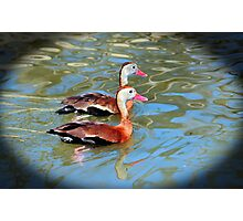 Red Billed Whistling Duck Photographic Print